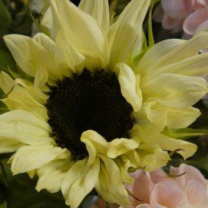 Sonnennblume